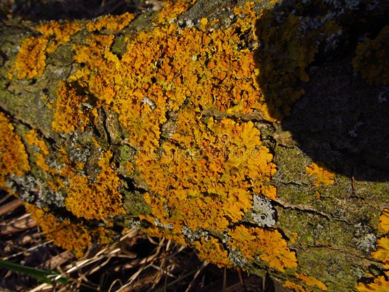 Végétation jaune de lichen sur l'écorce de saule photo stock