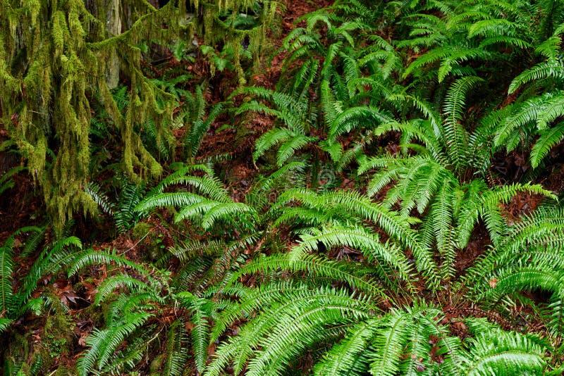 Végétation luxuriante, arbres géants envahis avec de la mousse, fougères et lich images stock
