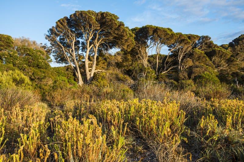 Végétation peu commune sur les rivages de l'île de kangourou, Australie du sud photographie stock libre de droits
