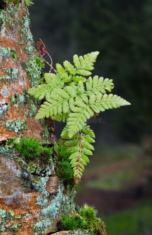 Végétation pionnière sur l'arbre mort image libre de droits