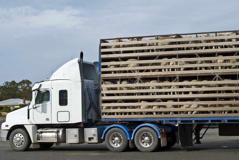 Véhicule de transport de moutons avec le chargement complet images stock