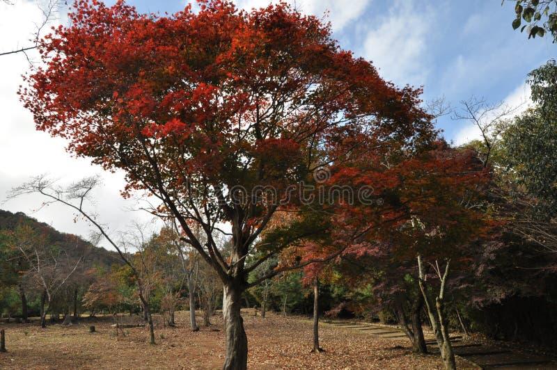 Véritable Autumn Leaves Tree rouge photos libres de droits