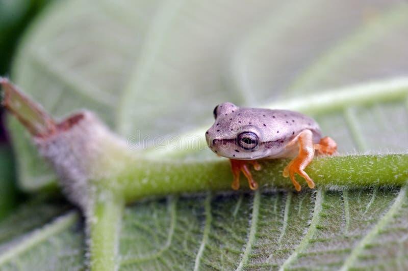 Véritable grenouille d'arbre, amphibie aperçu dans Rainfore atlantique restant photo libre de droits