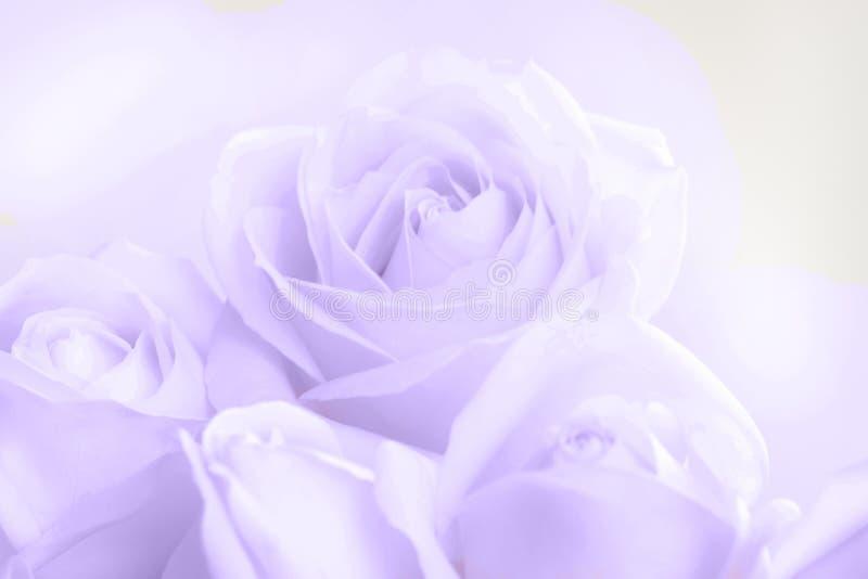 Véritables roses ultra-violettes molles comme fond neutre pour épouser Image modifiée la tonalité photo stock