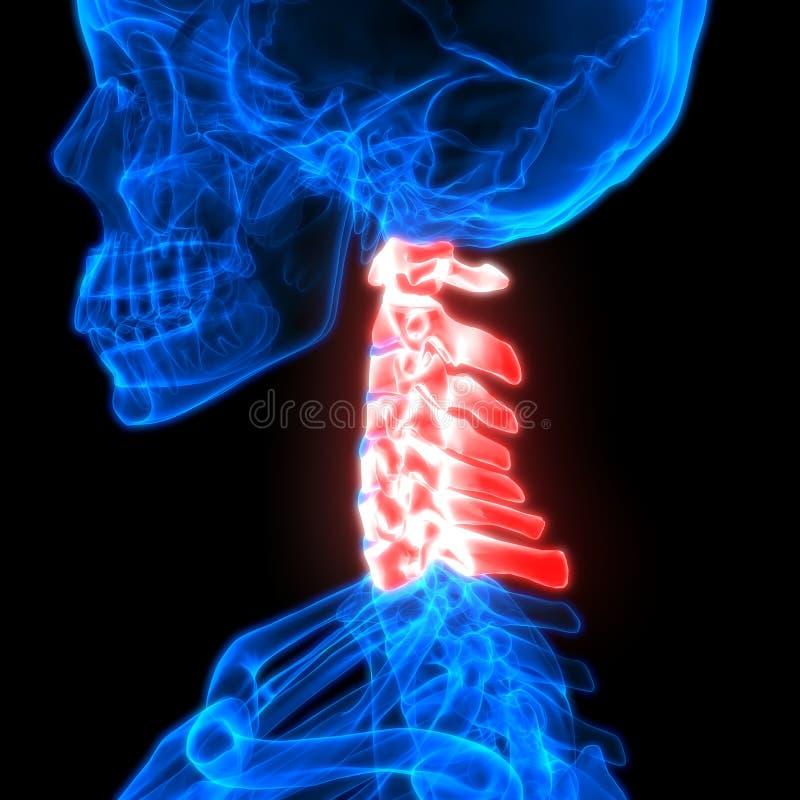 Vértebras Cervicales De La Médula Espinal A La Parte De Anatomía ...