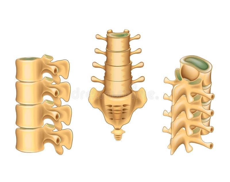 Vértebras lumbares y sacro ilustración del vector