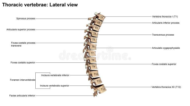 Vértebras torácicas ilustração stock