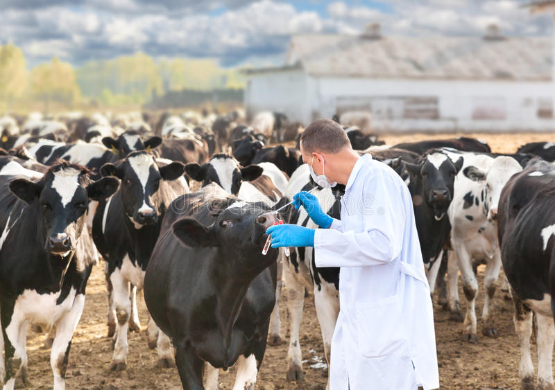 Vétérinaire aux bétail de ferme photos stock