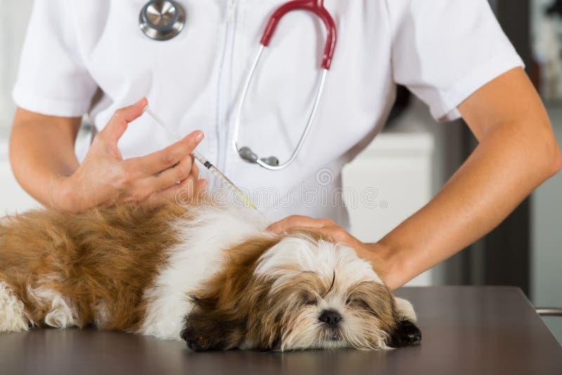 Vétérinaire avec son chien Shih Tzu photographie stock