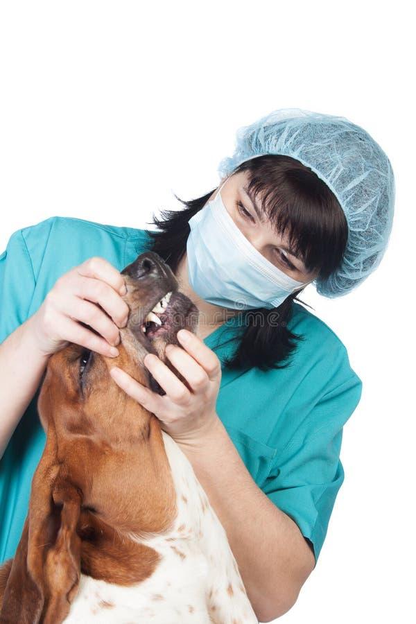 Vétérinaire contrôlant un crabot photographie stock libre de droits