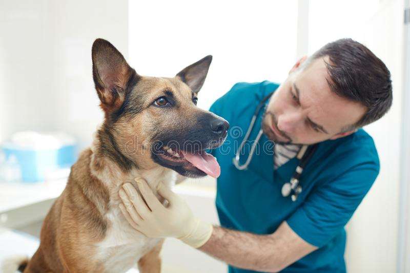 Vétérinaire de visite photos stock