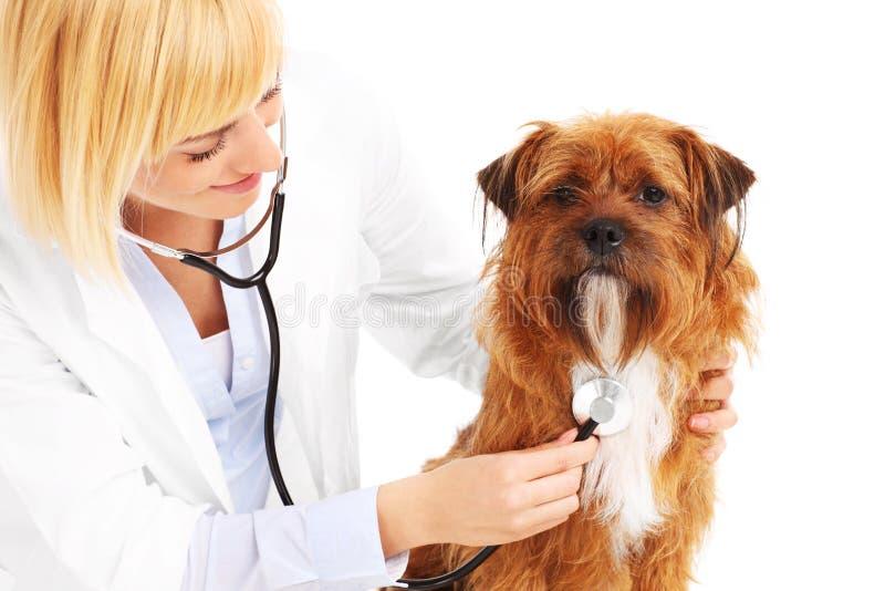 Vétérinaire examinant un chien images stock