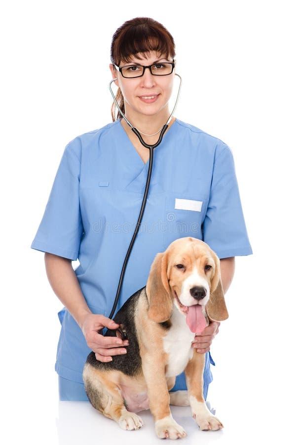 Vétérinaire examinant un chiot D'isolement sur le fond blanc photo stock