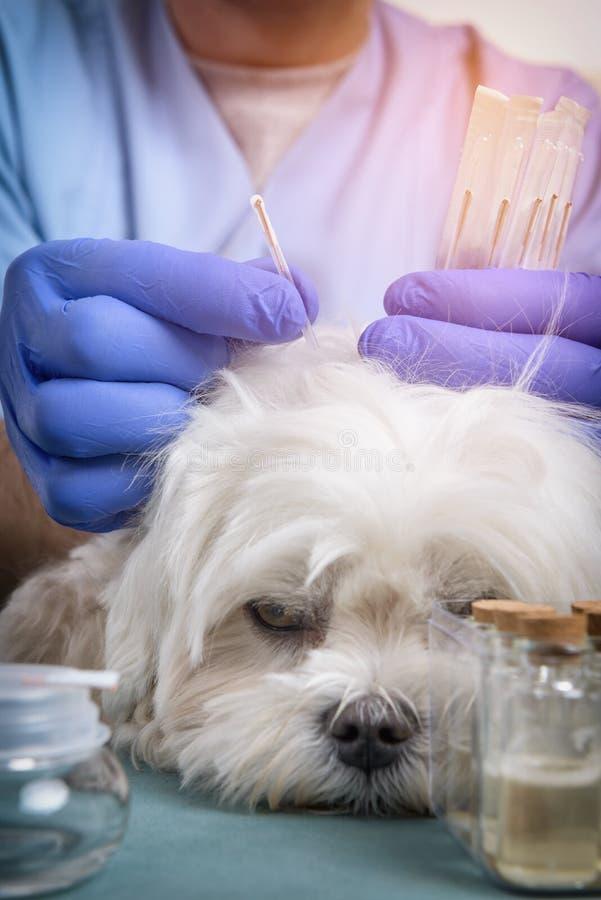 Vétérinaire faisant le traitement d'acuponcture images stock