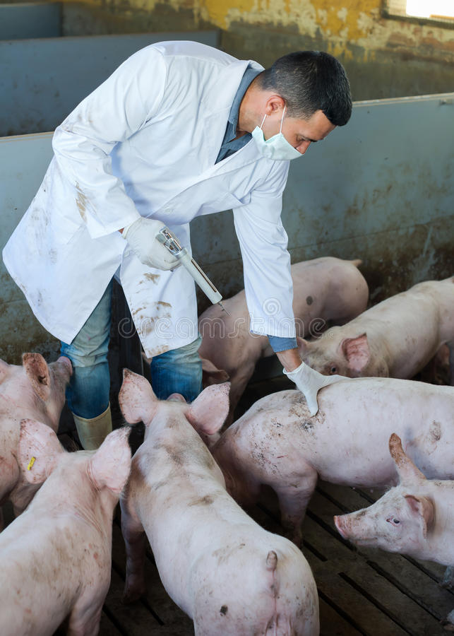 Vétérinaire masculin à la ferme de porc photos libres de droits