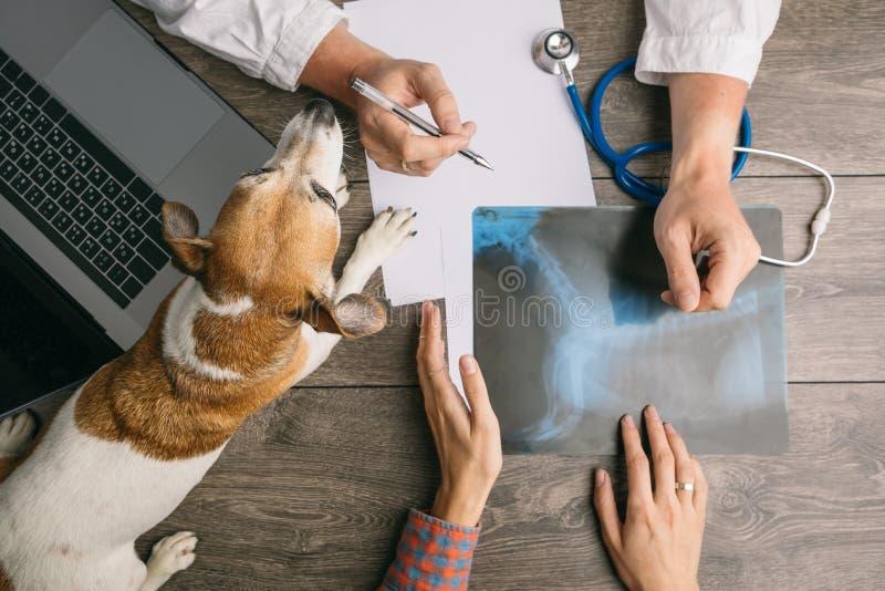 Vétérinaire visitant avec le terrier de Jack Russell de chien Soigne le bureau à partir du dessus Consultation de rayon X image stock