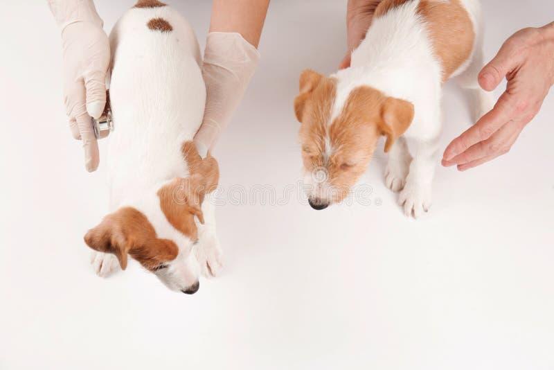 Vétérinaires examinant les chiens drôles mignons image stock