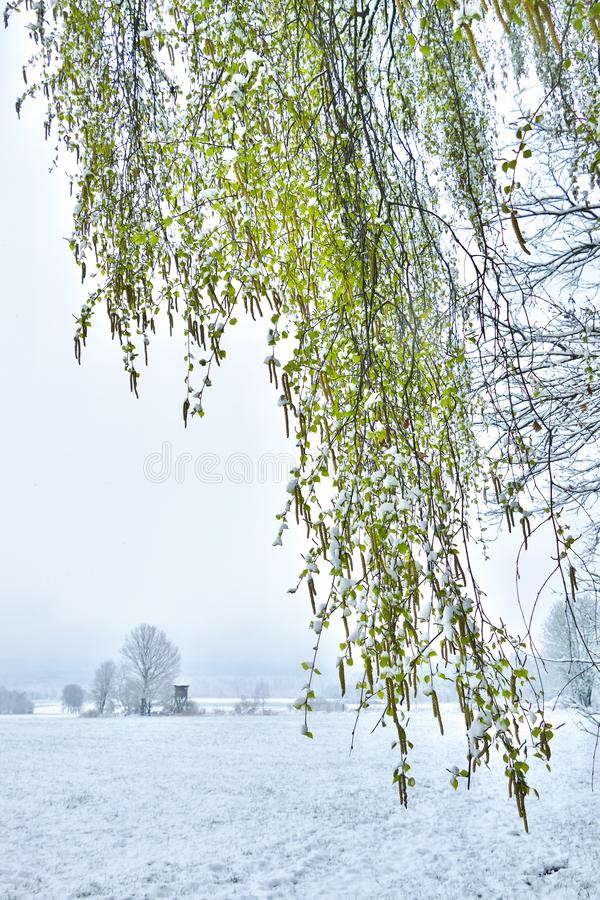 Véu das folhas frescas do vidoeiro na frente de um cenário da neve na mola fotografia de stock