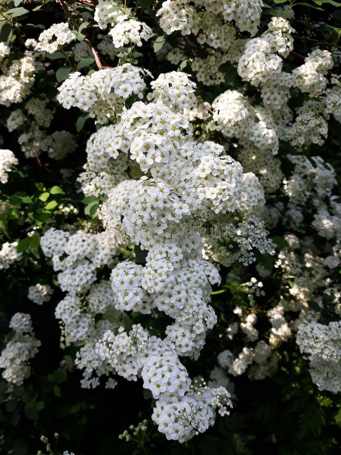 Véu nupcial Spirea, flores nupciais da grinalda fotografia de stock