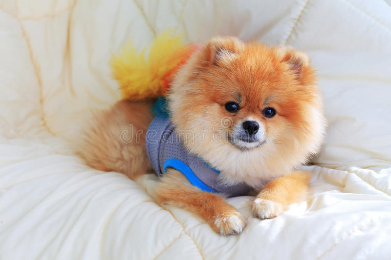 Vêtements d'usage de chien de toilettage de Pomeranian sur le lit photo libre de droits