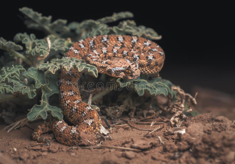 Víbora de cuernos sahariana y x28; Cerastes& x29 del Cerastes; en la planta en desierto en la noche fotos de archivo libres de regalías