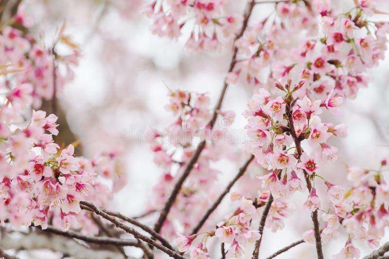 Vóór Prunus cerasoides is de bloem vergankelijk bos toen het koude weer als achtergrond beëindigde royalty-vrije stock fotografie