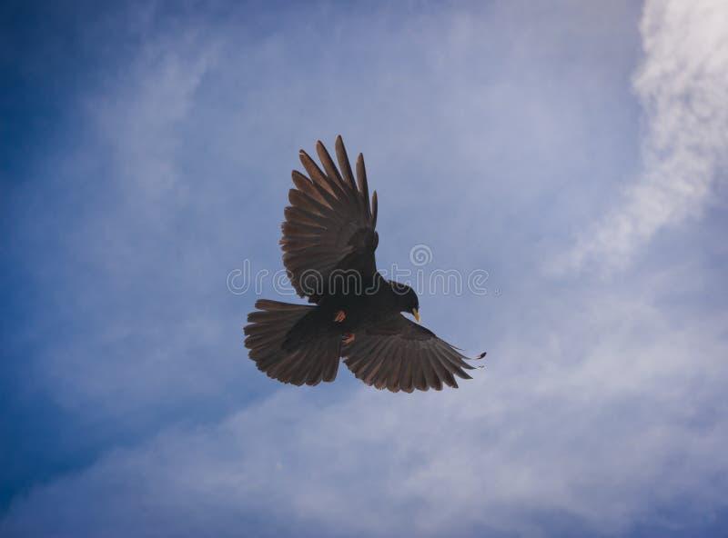 Vôo alpino do melro no céu azul imagens de stock royalty free