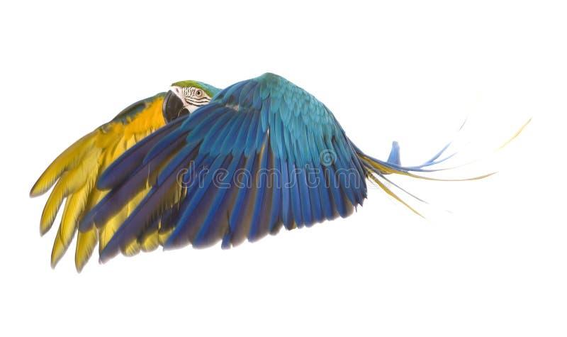 Vôo brilhante do papagaio do ara fotos de stock