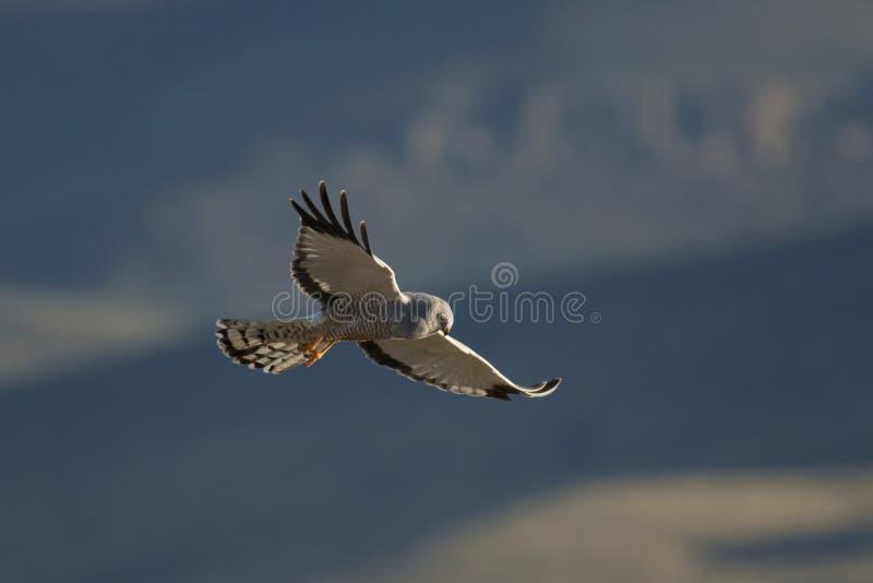 Vôo Cinereous do Harrier fotos de stock