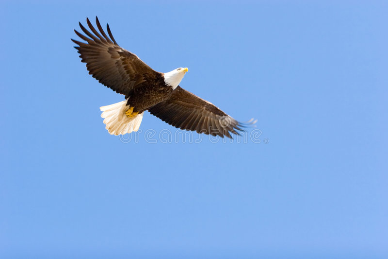 Vôo da águia calva foto de stock royalty free