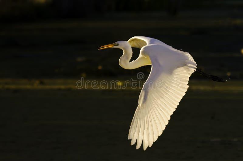 Vôo da manhã do grande Egret imagem de stock