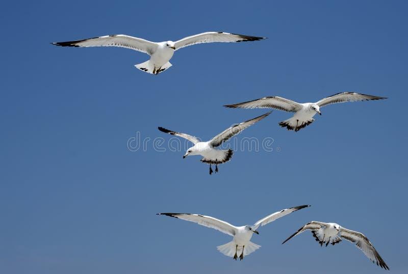 Vôo das gaivota fotografia de stock