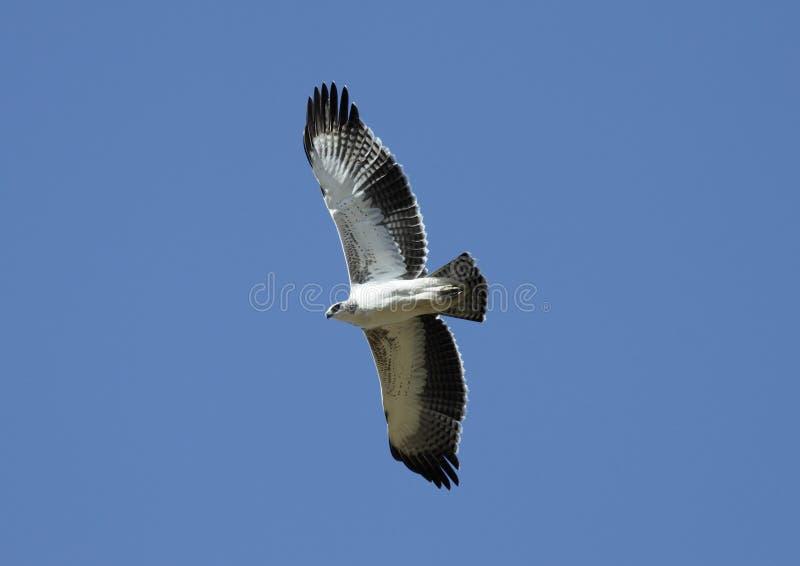 Vôo de Eagles fotografia de stock
