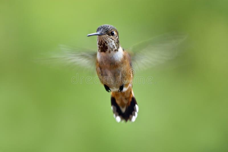 Vôo do colibri fotografia de stock
