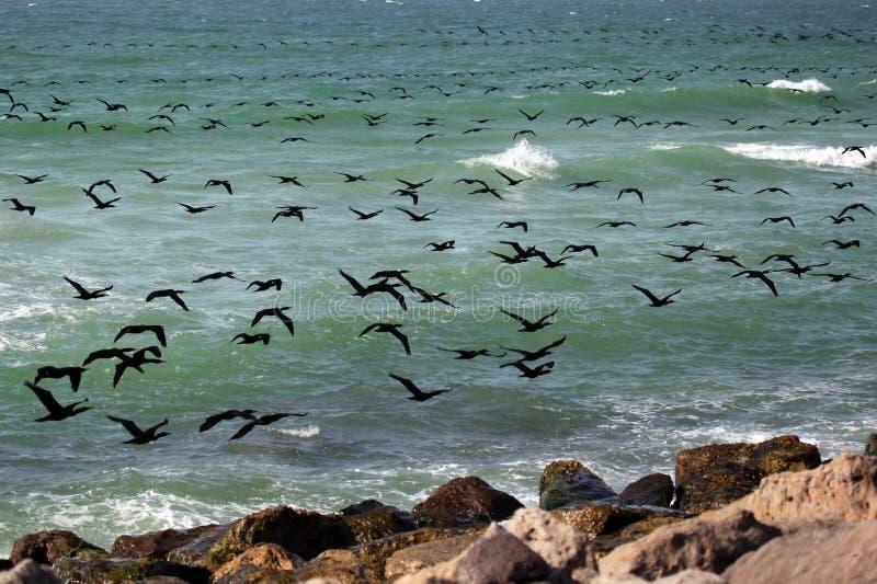 Vôo dos cormorants fotografia de stock royalty free