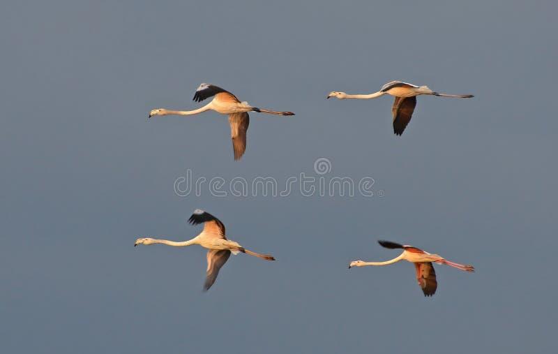 Vôo dos flamingos imagem de stock royalty free