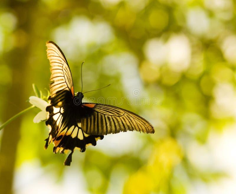 Vôo e dança da borboleta de Swallowtail fotos de stock