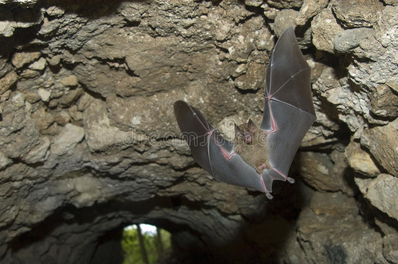 Vôo jamaicano do megabat na caverna, Tikal Guatemala imagem de stock royalty free