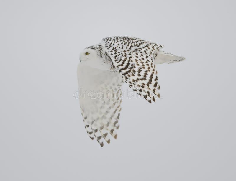 Vôo nevado da coruja foto de stock royalty free