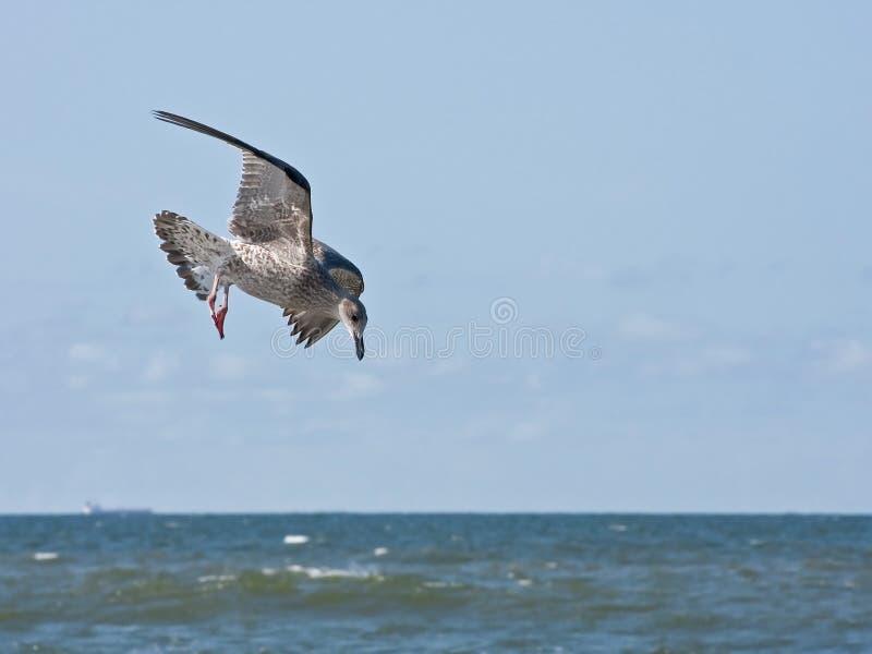 Vôo novo da gaivota de arenques sobre o mar fotografia de stock royalty free