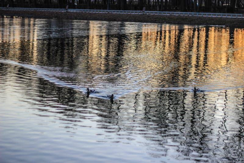 Vögel, die auf den See im Park schwimmen lizenzfreies stockbild