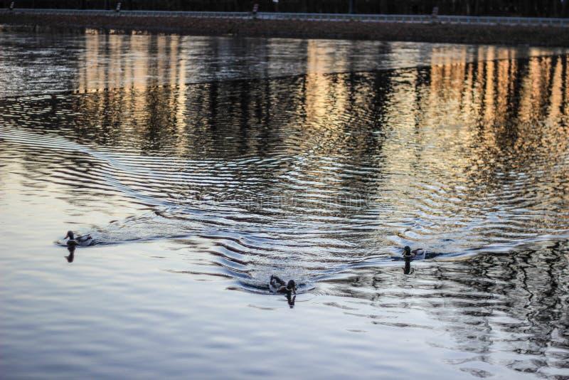Vögel, die auf den See im Park schwimmen stockbild