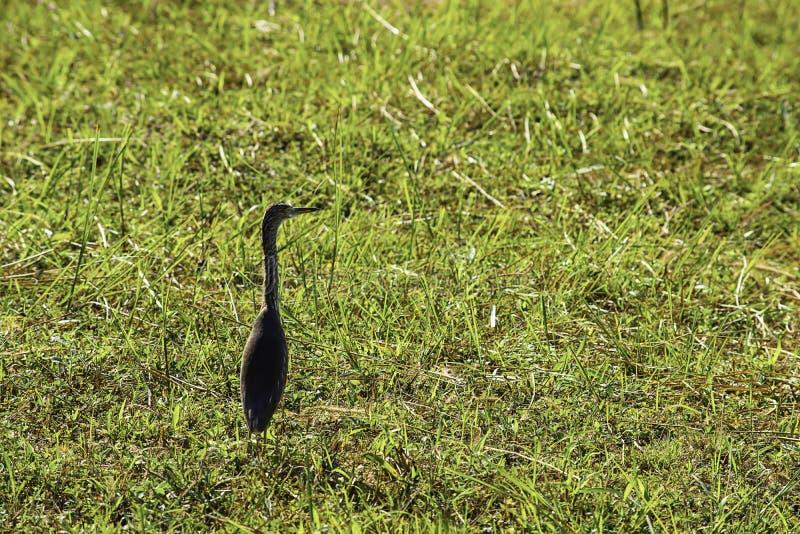 Vögel, die in einem hellgrünen Rasen stehen stockfotos
