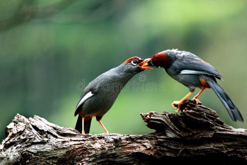 Vögel, die sich einziehen stockfotografie