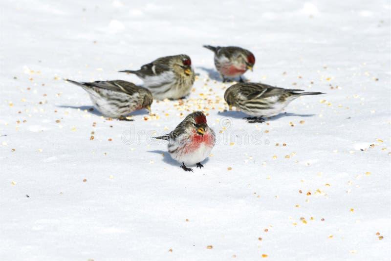 Vögel, die Startwerte für Zufallsgenerator auf Schnee essen stockbild