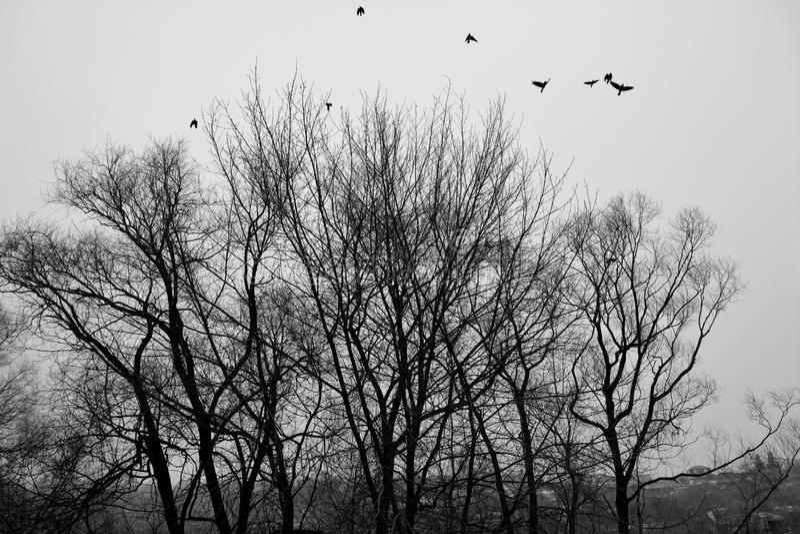 Vögel fliegen bis zum Himmel von den Bäumen Schwarzweiss-Foto Pekings, China stockbild