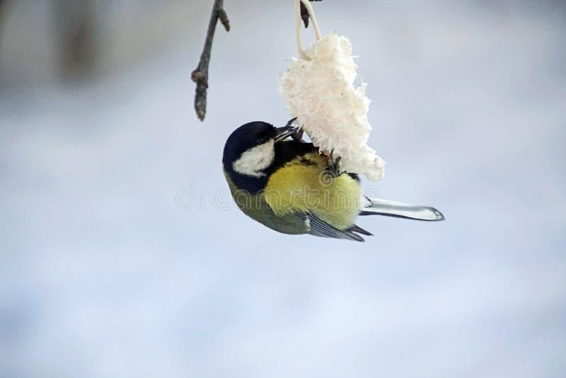 Vögel im Winter januar Kleine Meise Frosts frühstückt lizenzfreie stockbilder