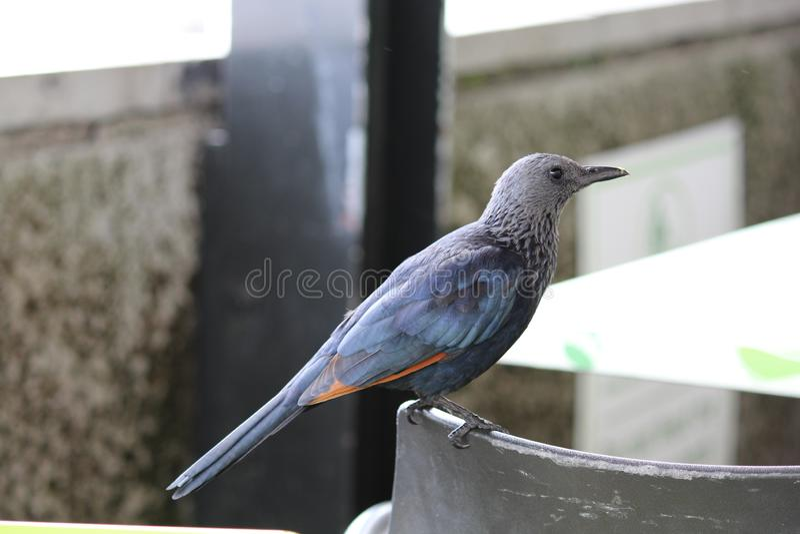 Vögel, Profile, Farbe, Natur, Blaue Taube stockfotografie