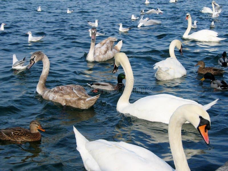 Vögel in See stockfotos