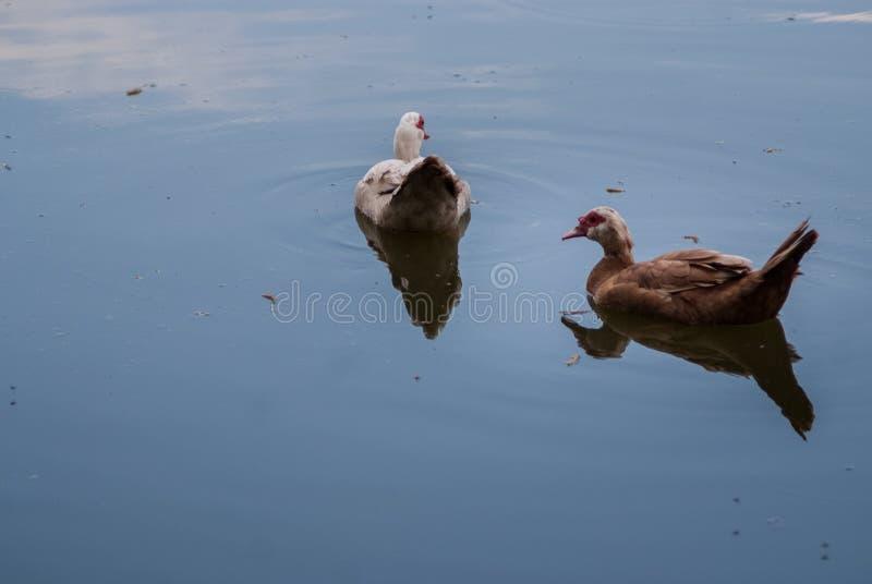 Vögel und Tiere in den wild lebenden Tieren Erstaunliche Nahaufnahmeansicht der Ente auf Stein unter Sonnenlicht stockfoto